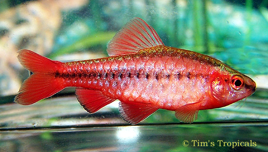 Clockwork hare fish of my dreams for Cherry barb fish
