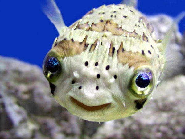freshwater puffer fish. Have a Puffer Fish: